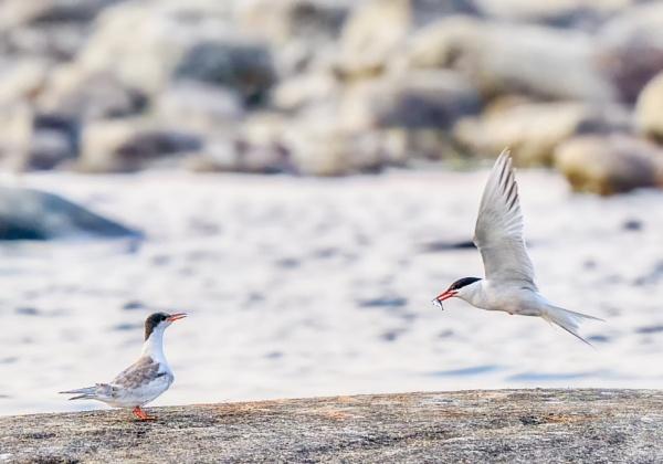 Common terns in Norrskär by hannukon
