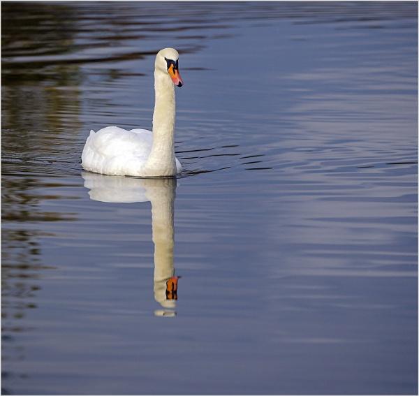 Reflecting Swan Lake by AnnetteK
