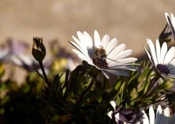 Rain Daisy with bee