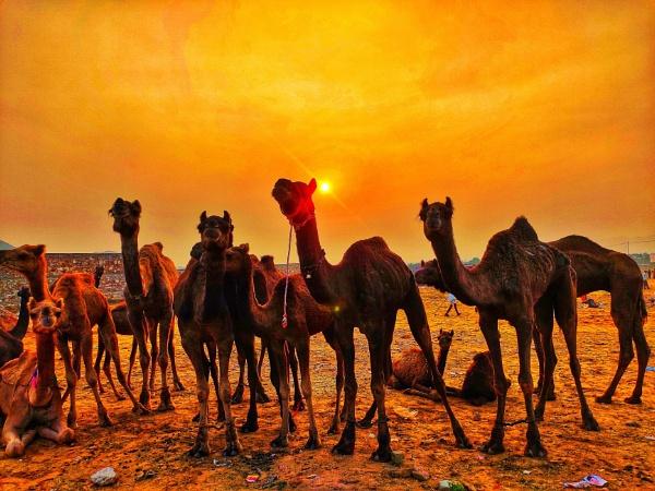 camel by Nityam