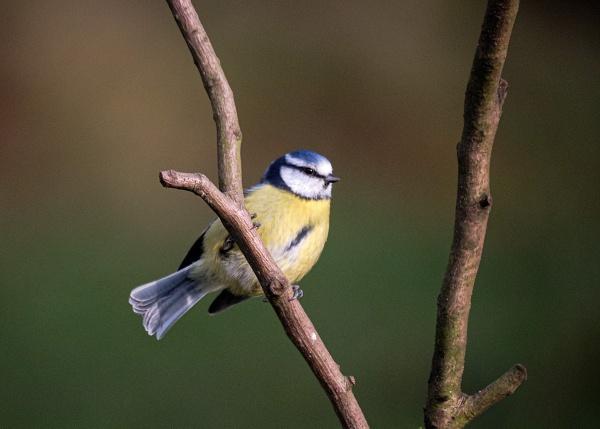 Blue Tit Perched by photographerjoe