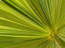 Mediterranean Fan Palm 2 by pamelajean