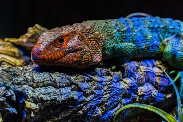 Lizard by terra