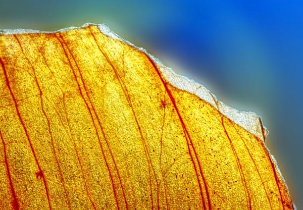 Macro - Onion Skin by Phillbri