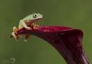 Lemur leaf frog by Angi_Wallace
