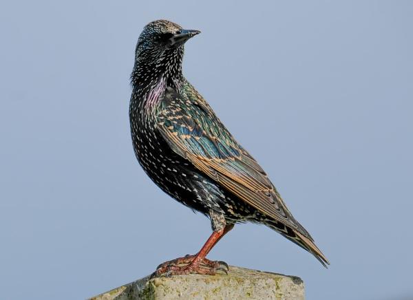 Starling by bluetitblue