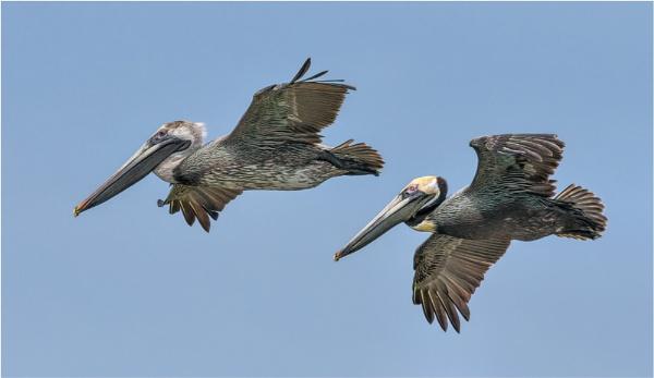 Pelican pair by mjparmy