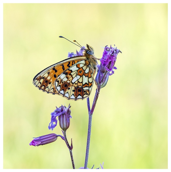 Small Pearl Bordered Fritillary. by NigelKiteley