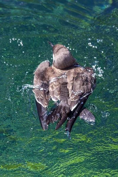 Inca Tern (Larosterna inca) splashing about in the water by Phil_Bird