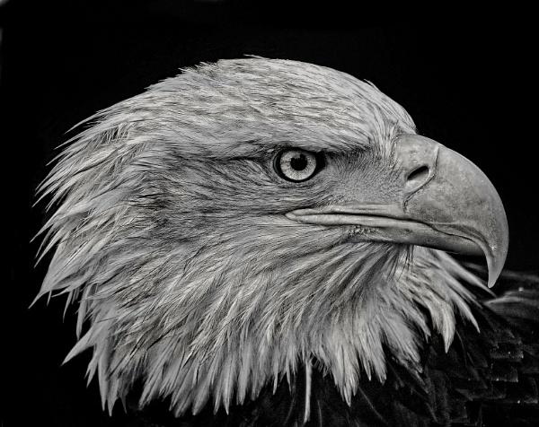 Eagle Eye by sweetpea62