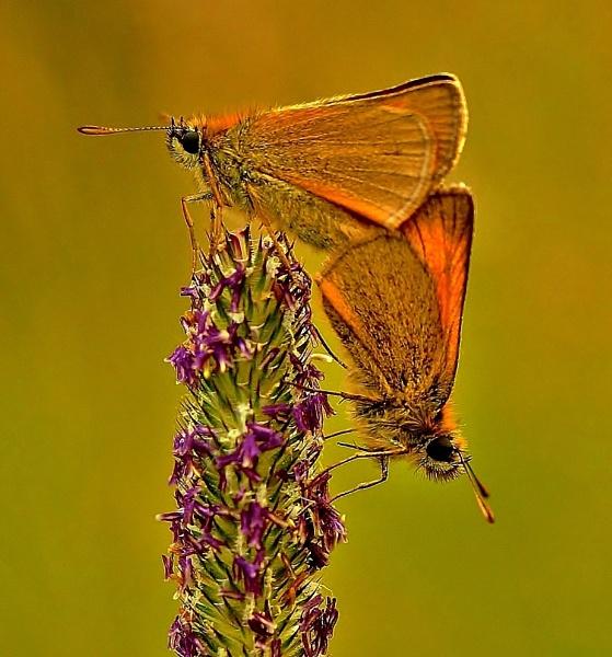 Skipper Butterflys by georgiepoolie