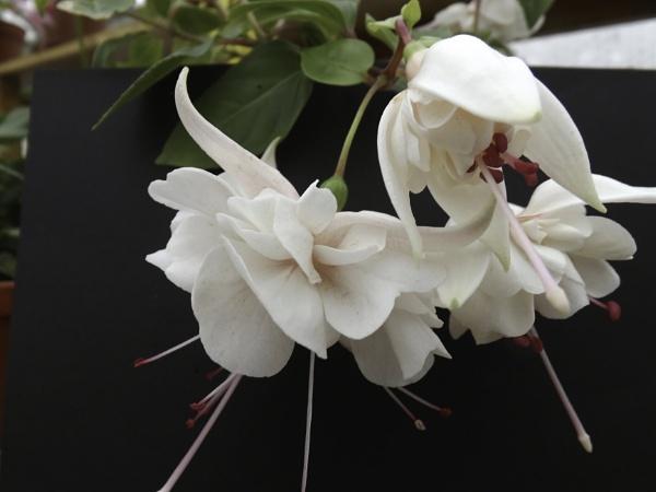 Roy Walker Fuchsia by silverscot