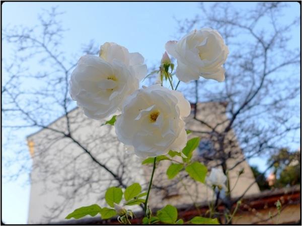 three white roses by FabioKeiner