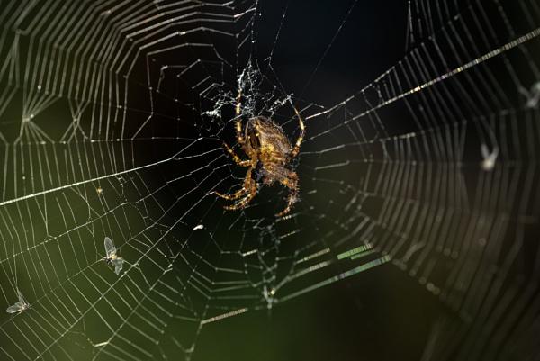 Cross Orb Weaver Spider by TrotterFechan