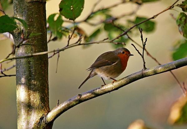 Newmillerdam Robin. by wentnorth