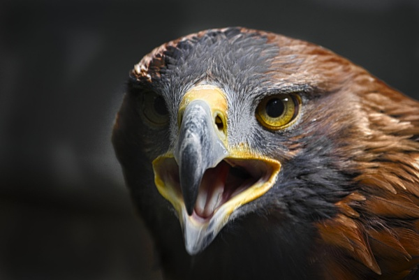 Screaming Eagle by BiffoClick