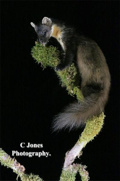 Pine Marten. by cjones