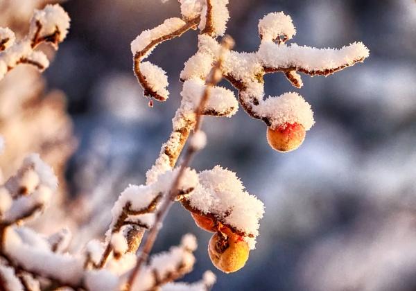 Frozen apples by hannukon