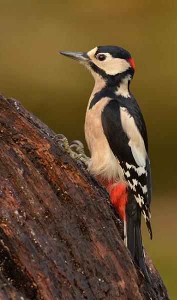 Great spotted woodpecker, Male by KBan
