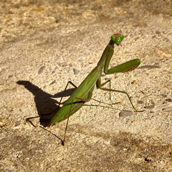 Praying Mantis by Pmitch