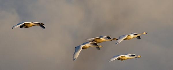 Whooper swans by oldgreyheron