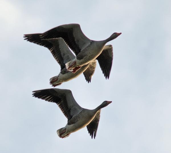 Greylag geese by oldgreyheron