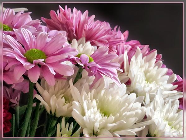 Chrysanths by Sylviwhalley