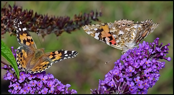 Painted Ladies on Buddleia. by Badgerfred
