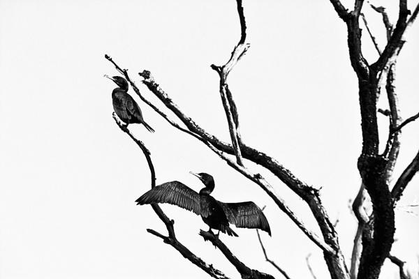 cormorant on belle isle windermere by stevegilman