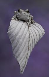 Grays tree frog on leaf
