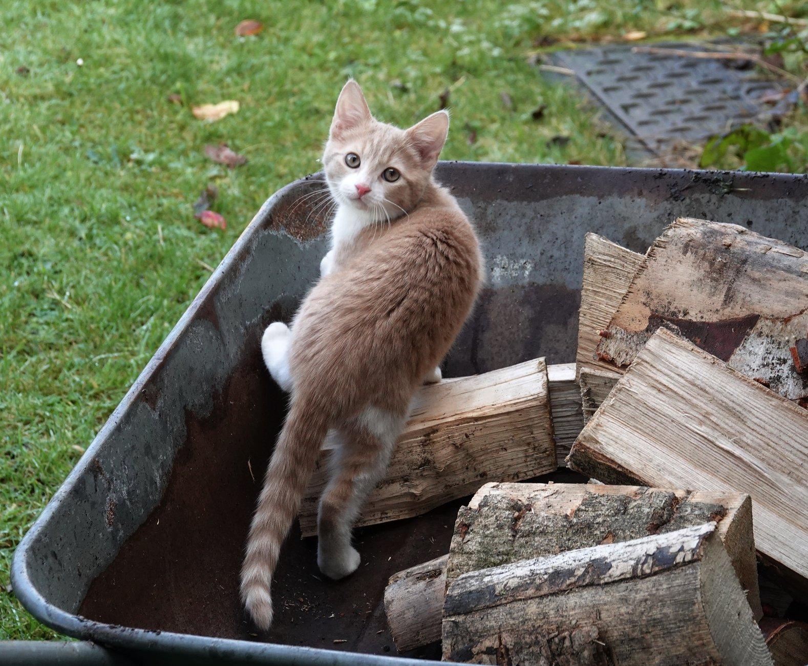 Winston the kitten helping bring firewood in