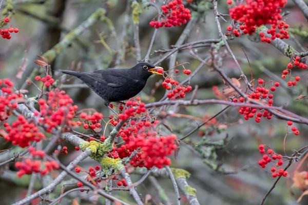 Blackbird (Turdus merula) by Ray_Seagrove