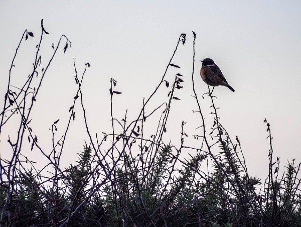 Stonechat on a twig by cats_123
