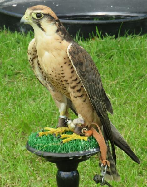 Falcon? by ddolfelin