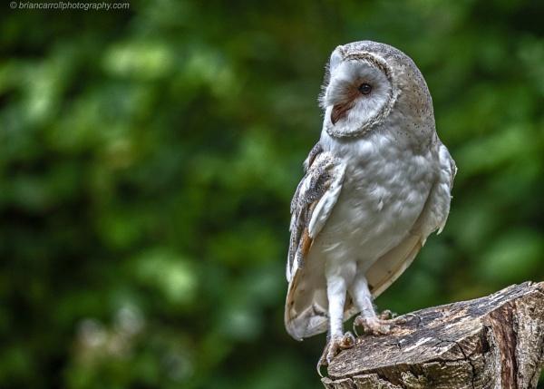 Barn Owl by brian17302