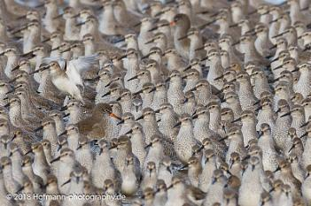Red shank against the flow