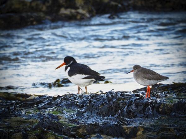 Redshank & Oystercatcher