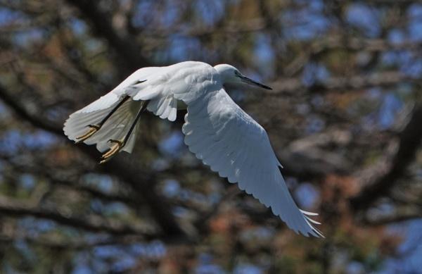 Egret in flight by frogs123