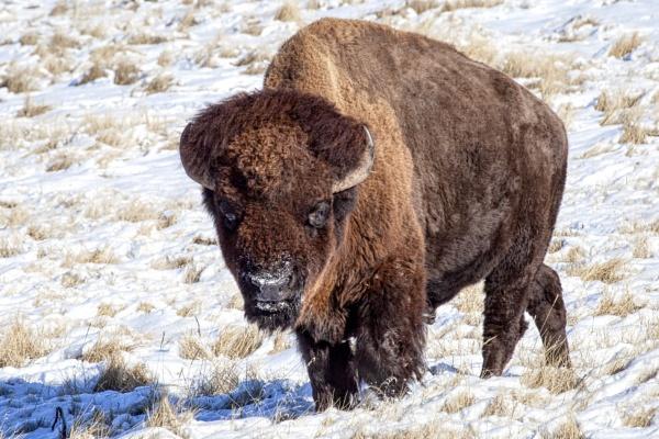 American Bison Winter Coat by fotolooney