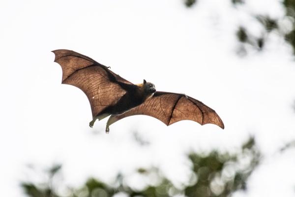 Flying Fox by Photoseeker