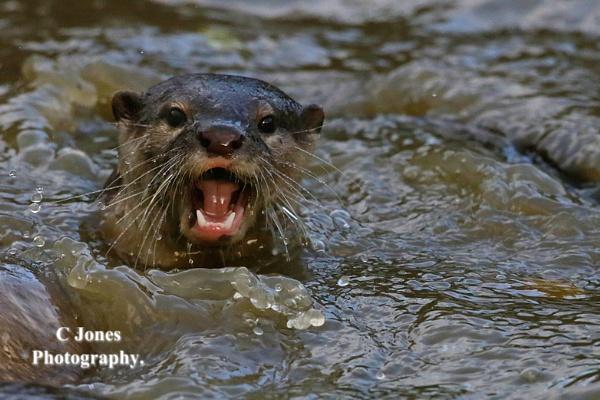 Otter. by cjones