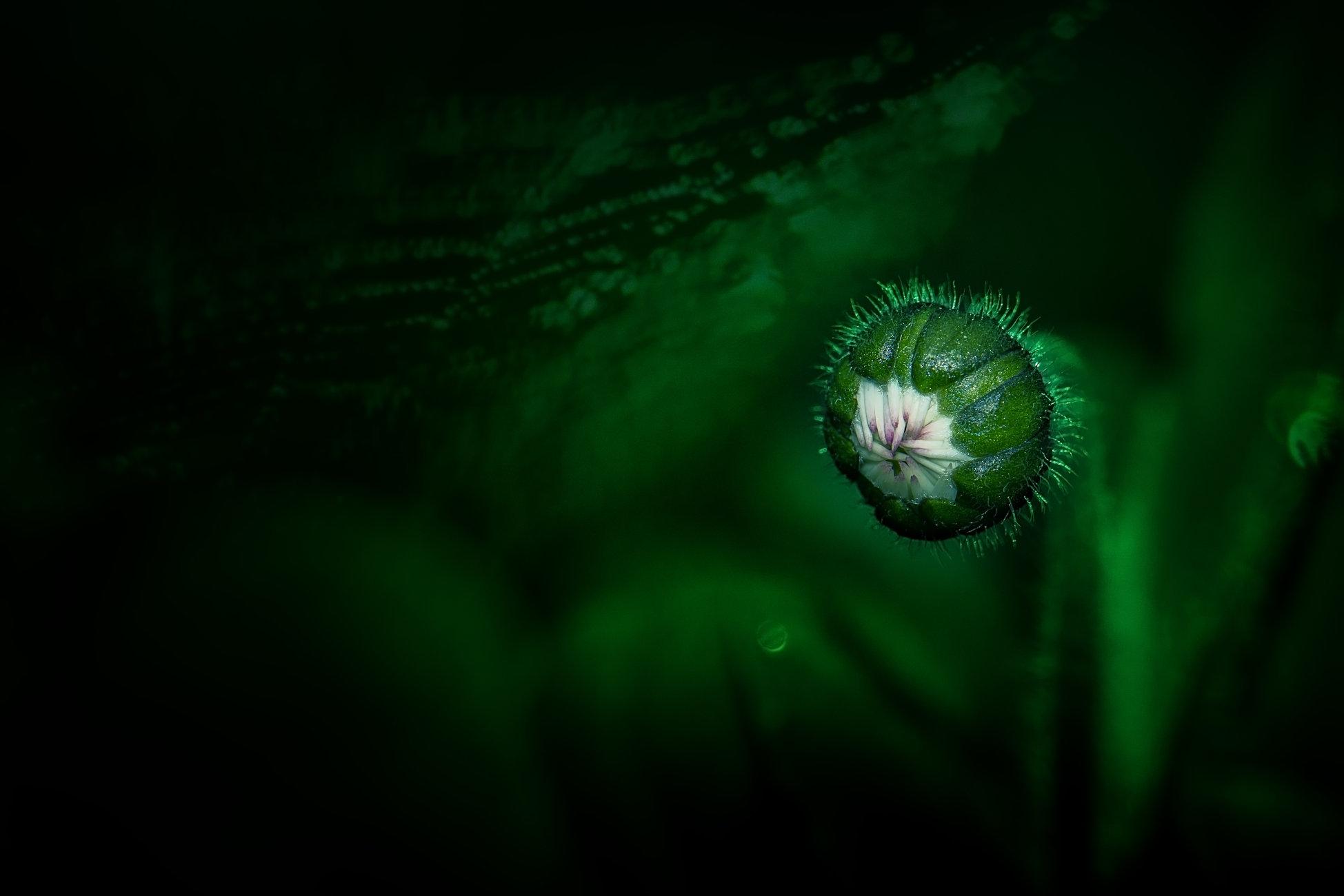 Daisy flower bud