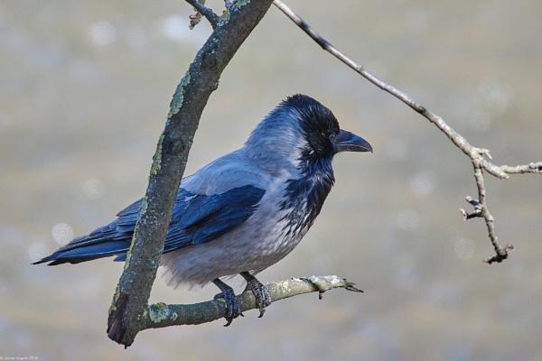 Hooded Crow (Corvus cornix) II by LotaLota