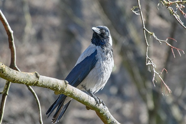 Hooded Crow (Corvus cornix) III by LotaLota