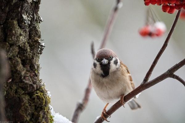 Tree Sparrow (Passer montanus) by LotaLota