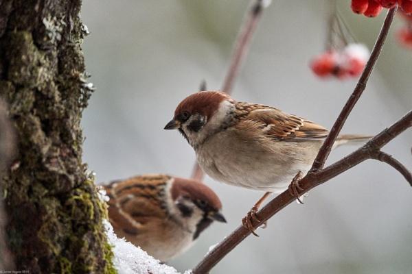 Eurasian tree sparrow (Passer montanus) by LotaLota