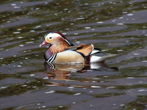 Mandarin duck on River Ure ! by Pecheur