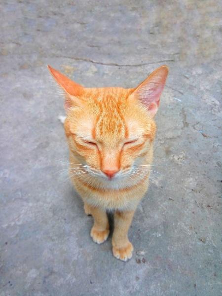 Ginger Cat by jkrix
