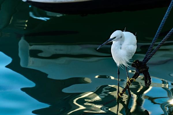 Little Egret #2 by terra