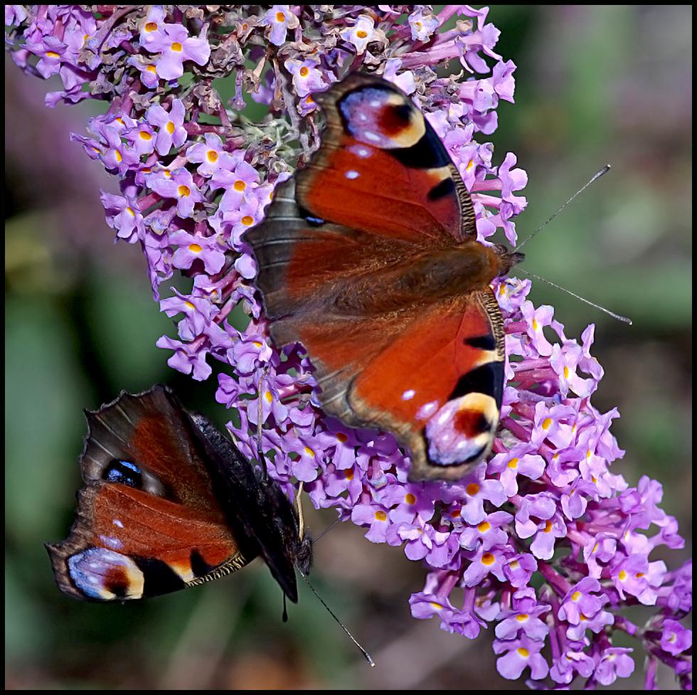 Peacock Butterflies on Buddleia.